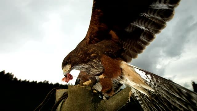 HD Super-Slow Mo: Harris Hawk Eating Its Prey