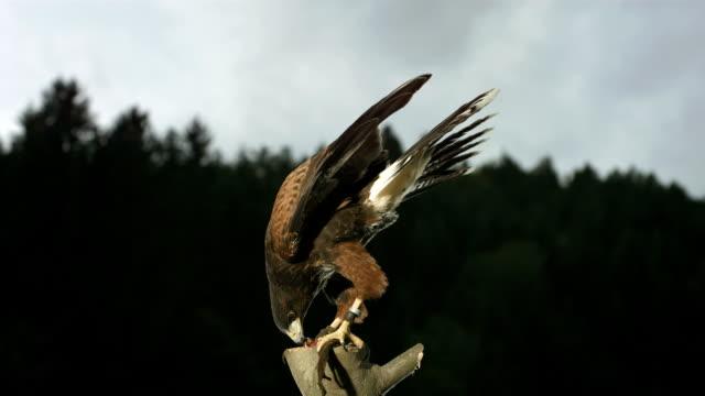 HD Super-Slow Mo: Harris Hawk Scavenging