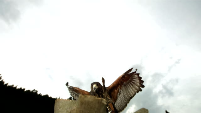 hd super slow motion: falco di harris è la sua preda - cacciare video stock e b–roll