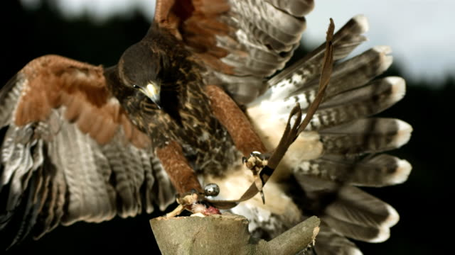 HD Super-Slow Mo: Hawk Hunting For Prey