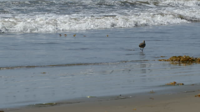4k surf rushes to shore a whimbrel shorebird walking in the water looking for sand crabs - water bird stock videos & royalty-free footage