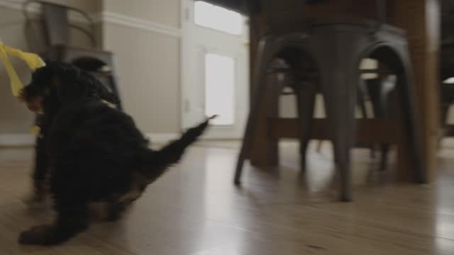 surface level tracking shot of girl dragging puppy biting on ribbon / bountiful, utah, united states - barefoot stock videos & royalty-free footage