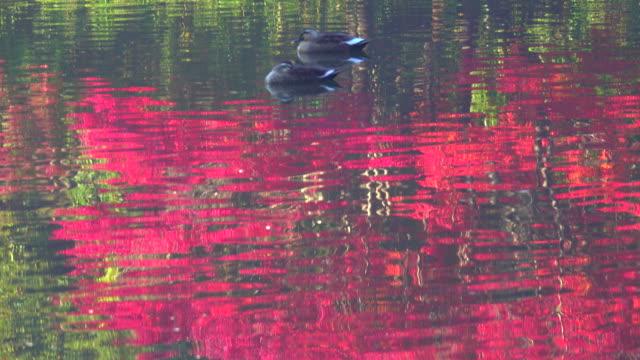 stockvideo's en b-roll-footage met oppervlak van herfst lake - vogel - plusphoto