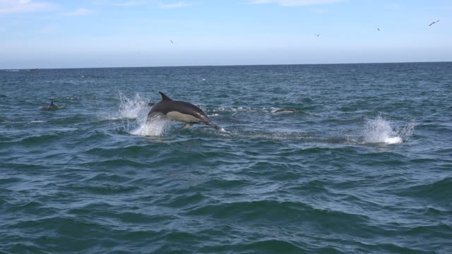 surface view of a pod of common dolphins attacking a sardine bait ball during the sardine run, off the east coast of south africa. the common dolphins work as a team to round up the sardines and push them toward the surface. - pod group of animals stock videos & royalty-free footage