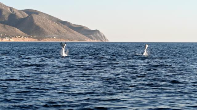 surface view of munk's devil rays, mobula munkiana, breaching in the morning sunshine, sea of cortes, baja california, mexico. - manta ray stock videos & royalty-free footage