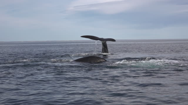 surface view of two southern right whales, one exhaling and the other displaying it's tail fluke as it dives, valdes peninsula, argentina. - lobtailing stock videos & royalty-free footage