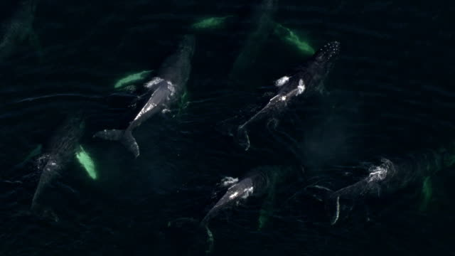 surfacing humpback whales spout plumes of water into the air before diving again. - pod group of animals stock videos & royalty-free footage