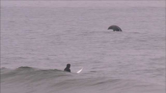 a surfer paddles towards a dolphin in the ocean. - pagaiare video stock e b–roll