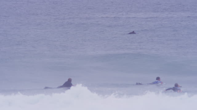 WS surfers paddling in foreground and Humpbacked Dolphin surfacing in background