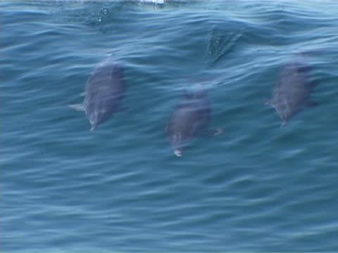 stockvideo's en b-roll-footage met surfing atlantic spotted dolphins - rugvin