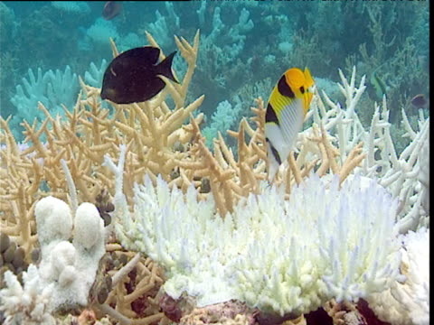 surgeonfish and saddleback butterfly fish feeds on bleached coral, maldives - tierisches exoskelett stock-videos und b-roll-filmmaterial