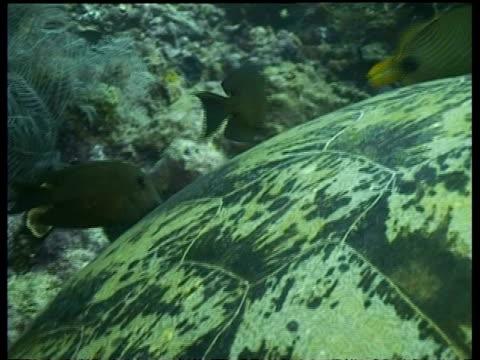 vídeos y material grabado en eventos de stock de bcu surgeonfish cleaning green turtle, shell detail, sipadan, borneo, malaysia - patrones de colores