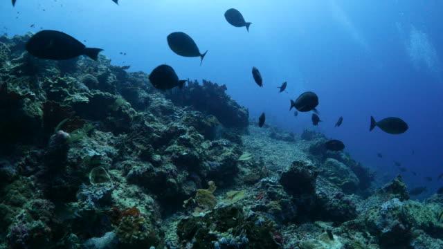 surgeonfish (ni-za-da-i) schooling in coral reef (4k) - surgeonfish stock videos and b-roll footage