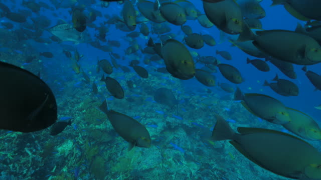 surgeonfish schooling toward to camera undersea - surgeonfish stock videos and b-roll footage