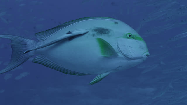 surgeonfish (acanthurus) with attached remora (echeneis naucrates), fiji - remora fish stock videos & royalty-free footage