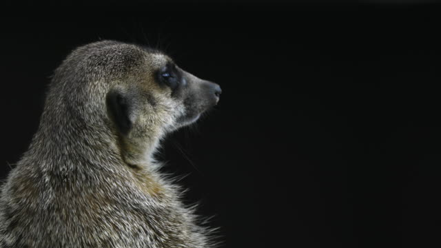 Suricate or Meerkat, Cabárceno Natural Park, Pisueña Valley, Municipality of Penagos, Cantabria, Spain, Europe