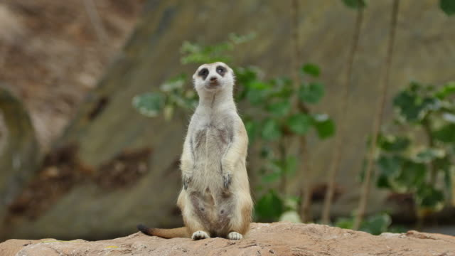 suricate or meerkat standing in alert position. - standing stock videos & royalty-free footage