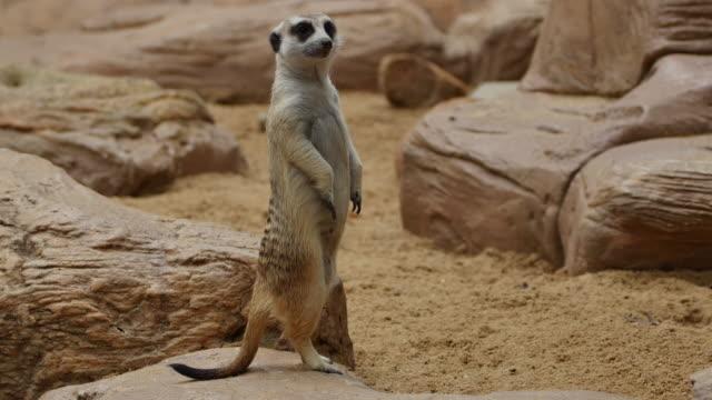 Suricate or Meerkat standing in alert position.