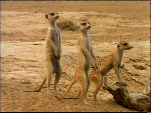 3 suricates (meerkats) standing on hind legs looking around / africa - piccolo gruppo di animali video stock e b–roll