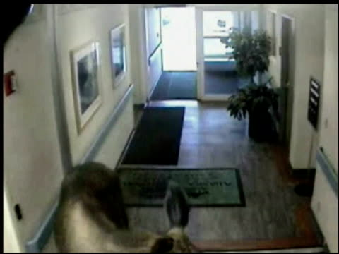 / surveillance video of a giant moose walking into a doctor's office / moose walks down hall looks around / employees peek out of the hallway to... - ausrutscher stock-videos und b-roll-filmmaterial