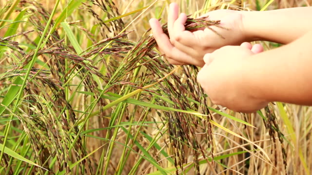 survey of rice - surveyor stock videos and b-roll footage