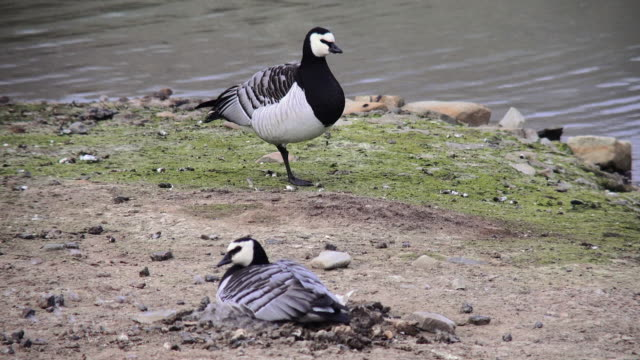 svalbard birds - スヴァールバル諸島点の映像素材/bロール
