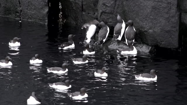 svalbard birds - water bird stock-videos und b-roll-filmmaterial