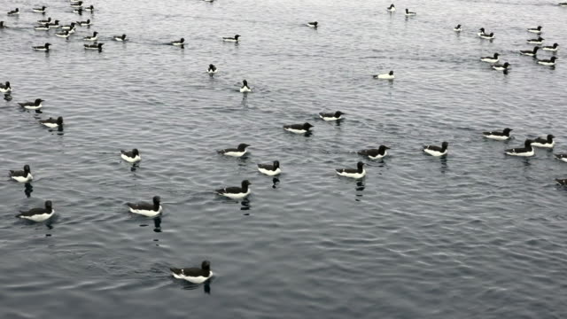 svalbard birds - water bird stock videos & royalty-free footage