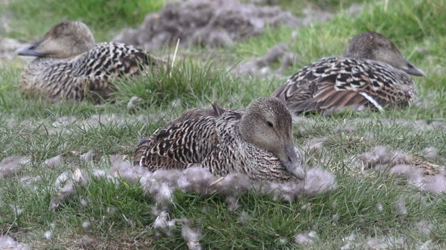 svalbard birds - eider duck stock videos & royalty-free footage