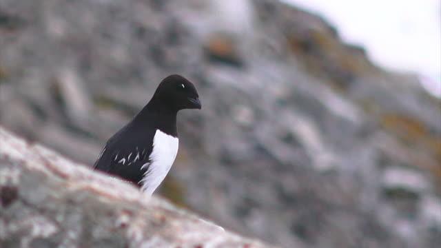 svalbard birds - auk stock videos & royalty-free footage