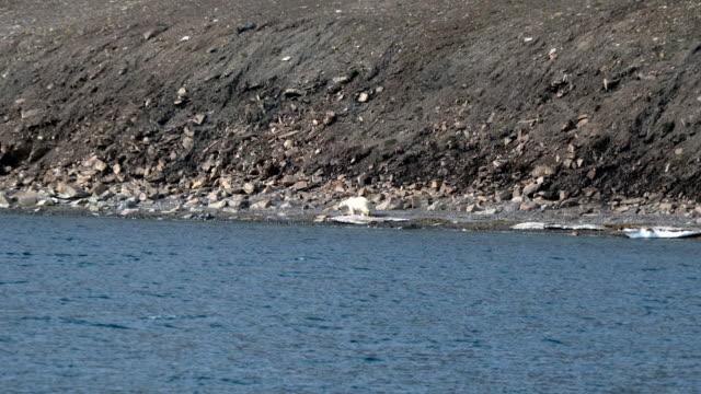 svalbard island isbjörn - polarklimat bildbanksvideor och videomaterial från bakom kulisserna
