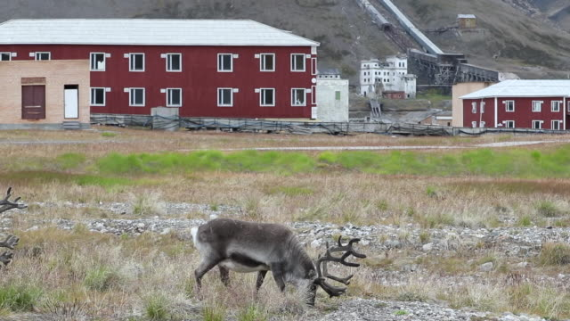 svalbard reindeer at pyramiden, abandoned arctic russian town - russian culture stock videos & royalty-free footage