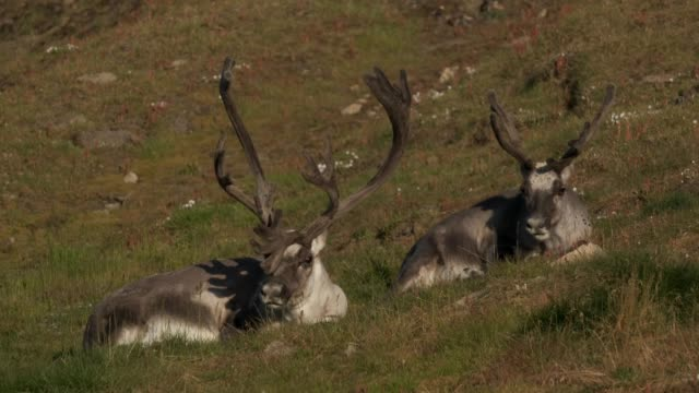 svalbard reindeer graze during a summer heat wave on svalbard archipelago on july 29 2020 near longyearbyen norway the svalbard reindeer are facing... - vaja bildbanksvideor och videomaterial från bakom kulisserna