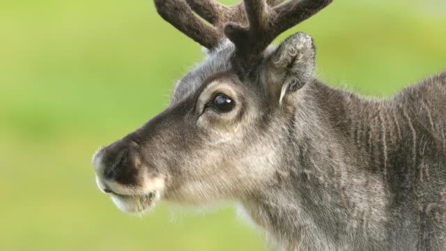 svalbard reindeer - vaja bildbanksvideor och videomaterial från bakom kulisserna