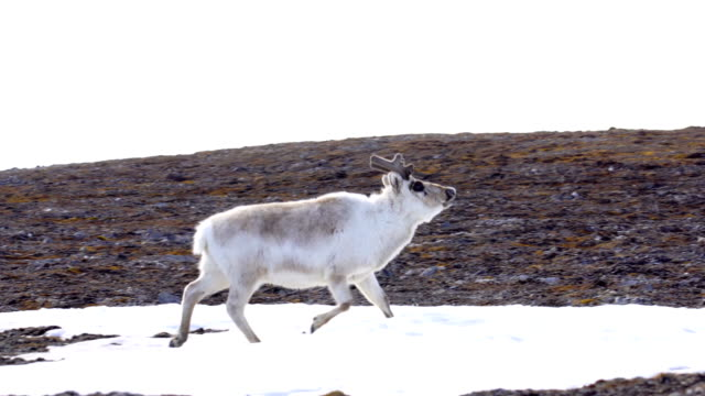 svalbard reindeer (rangifer tarandus platyrhynchus) - svalbard islands stock videos & royalty-free footage
