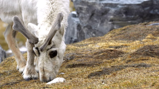 svalbard reindeer (rangifer tarandus platyrhynchus) - 地衣類点の映像素材/bロール