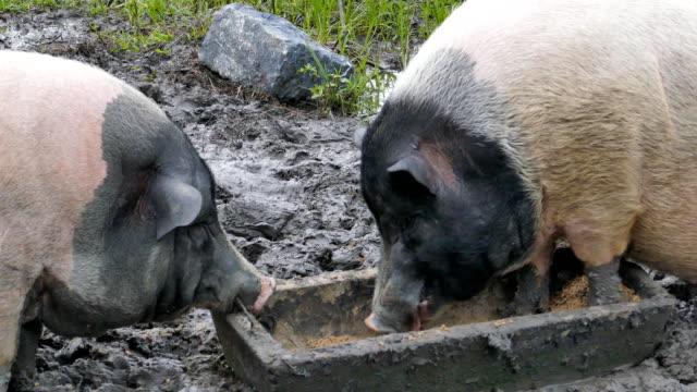 swabian-hall swine pig - feeding stock videos & royalty-free footage