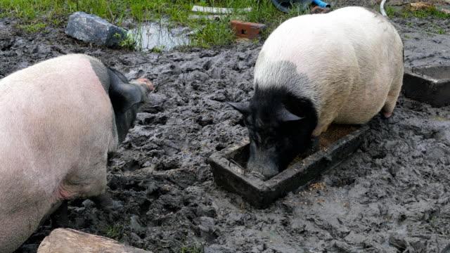 swabian-hall swine pig - slaughterhouse stock videos & royalty-free footage