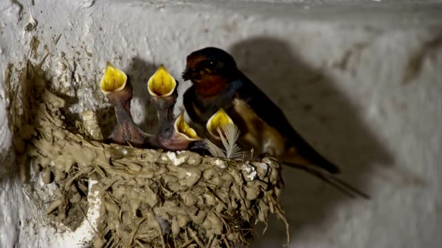 slo mo swallow bird feeding chicks - bird's nest stock videos and b-roll footage