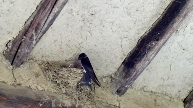 vídeos de stock e filmes b-roll de swallow bird feeding its chicks under roof - grupo pequeno de animais