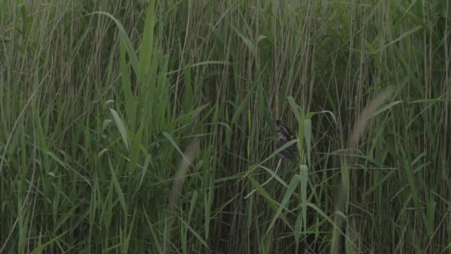 swallow fledglings sitting in reeds wide shot - fianco a fianco video stock e b–roll