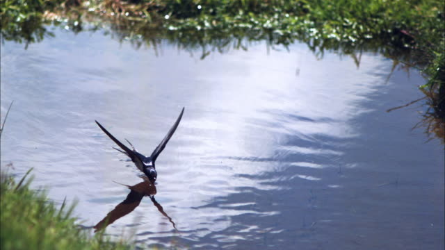 slomo swallow flies low over pool and drinks water then flies on - drinking stock videos and b-roll footage