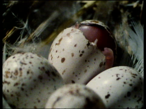vídeos y material grabado en eventos de stock de swallow hatchling breaking out of egg shell surrounded by other white and brown spotted eggs and feathers in the nest - reptile