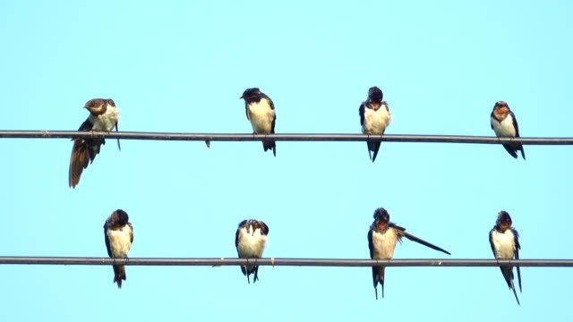 swallow on power line - cable stock videos & royalty-free footage