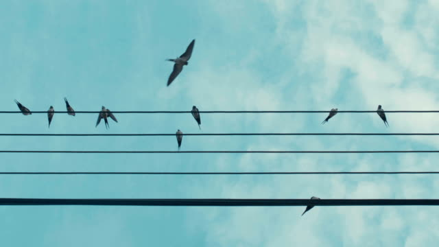 vidéos et rushes de swallow on the wire - se percher
