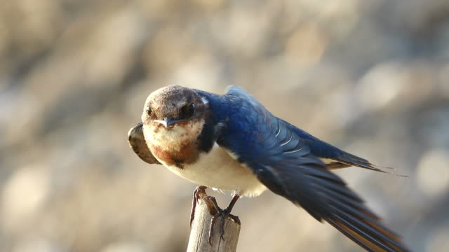 swallow standing on tree stump - songbird stock videos & royalty-free footage