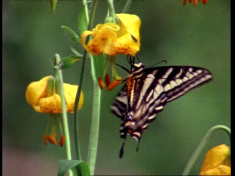 ms swallow tail butterfly feeding on yellow lily, australia - animal colour stock videos & royalty-free footage