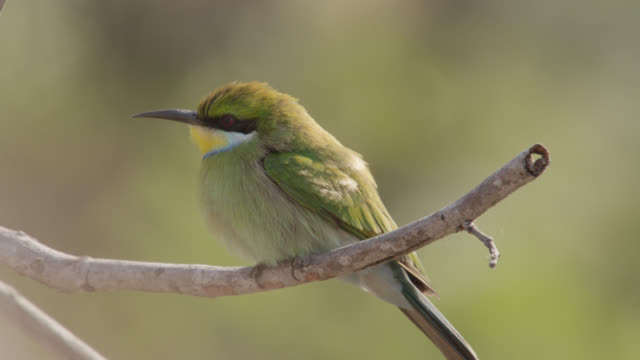 swallow tailed bee eater (merops hirundineus) takes off from branch, zambia - songbird stock videos & royalty-free footage