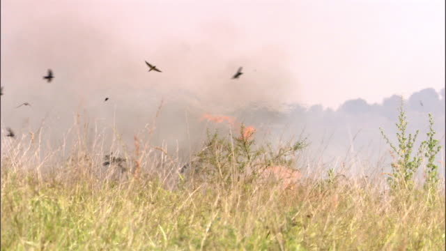 swallows (hirundo sp.) catch fleeing insects as wild fire burns on savannah, uganda - hd format stock videos & royalty-free footage
