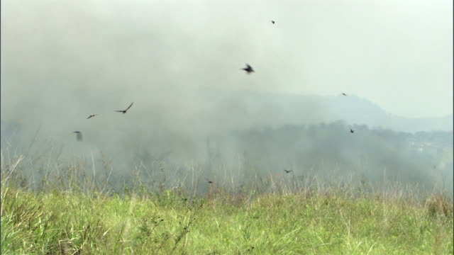 swallows (hirundo sp.) catch fleeing insects as wild fire burns on savannah, uganda - escaping stock videos & royalty-free footage
